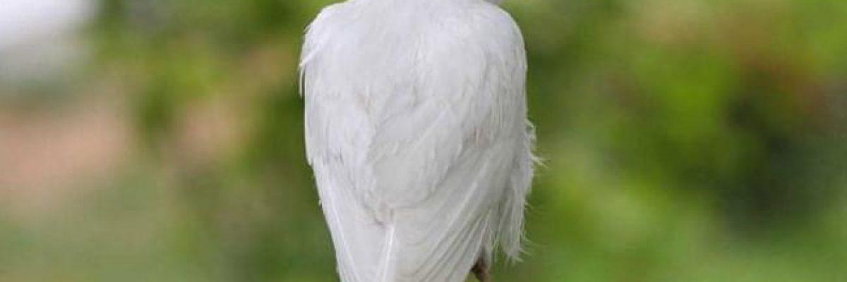 עורב לבן